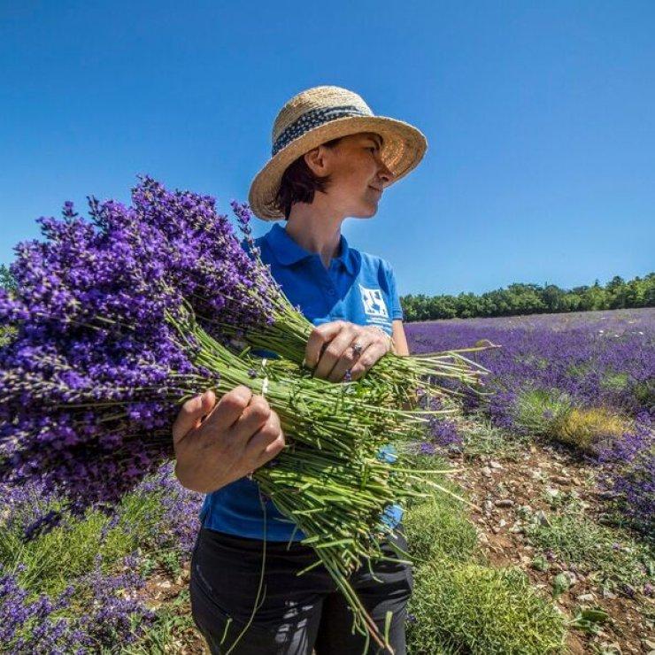 Lavanderaie des hautes Baronnies à Orpierre - La récolte des bouquets de lavande (Copyright : Patrick Domeyne)