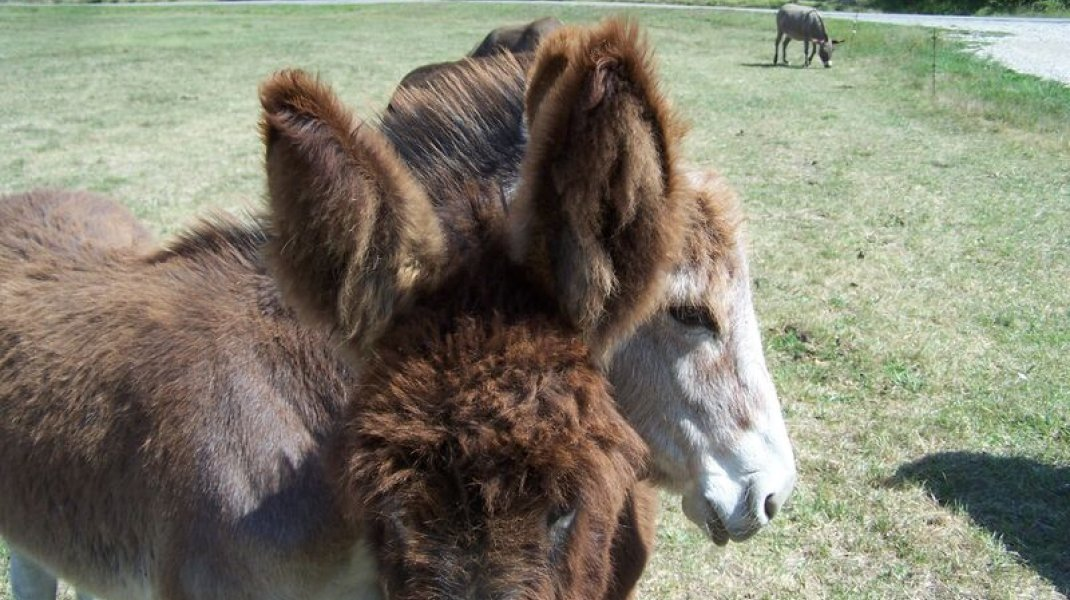 Animal sociable : cachou et caramel (Copyright : P.Omer)