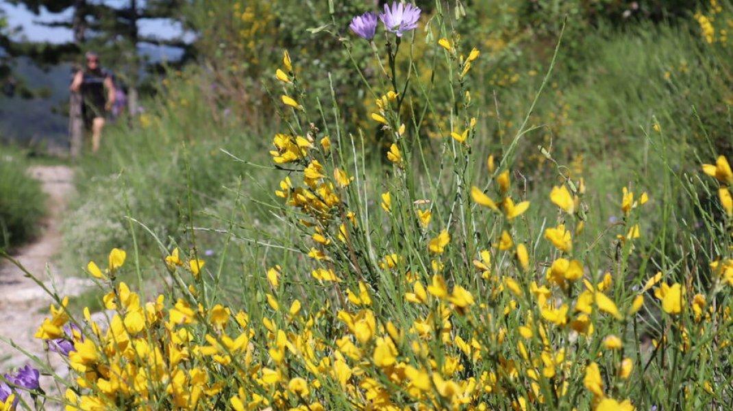 Randonnée le Trou de l'Argent à Sisteron - Genêts en fleur (Copyright : Office de Tourisme Sisteron Buëch)