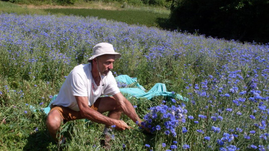 La Rivière des Arômes à Rosans - Cueillette à la main (Copyright : La Rivière des Arômes)