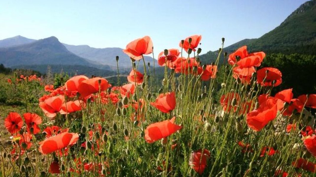 Mélilou, plantes en Baronnies provençales - Coquelicots (Copyright : Mélilou, plantes en Baronnies provençales)