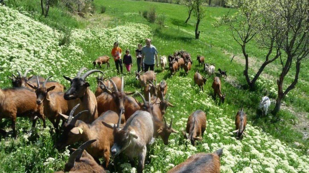 Ferme des Jassines à Moydans - En balade avec le troupeau (Copyright : Ferme Les JAssines)