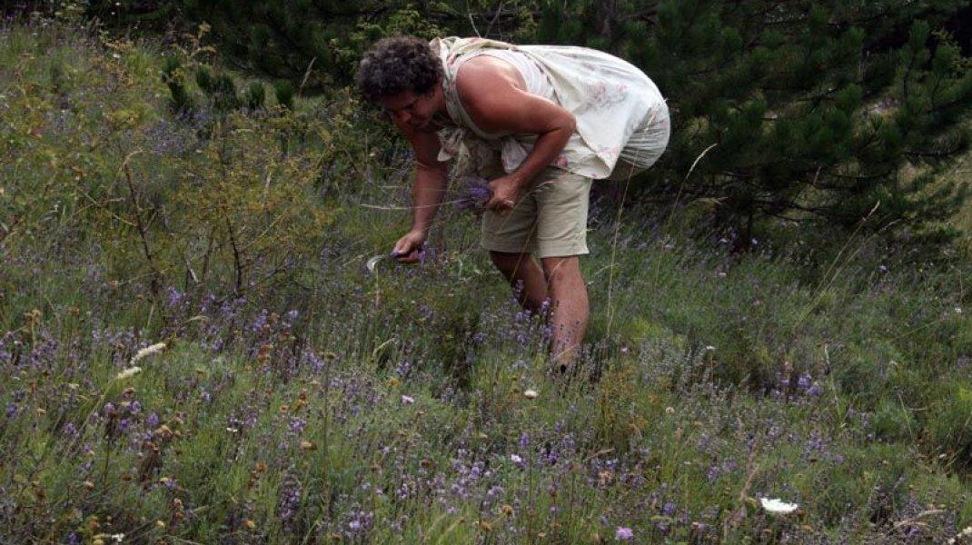 Les Paysans Savonniers - Cueillette des plantes (Copyright : Les Paysans Savonniers)