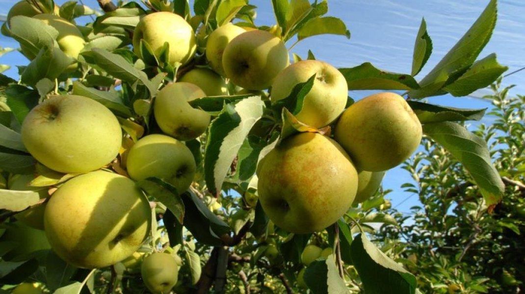 Exploitation Laurence Long - Pommes Golden (Copyright : Office de Tourisme Sisteron Buëch)