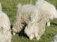 Visite de la ferme - Chèvre angora (Copyright : C. Lanteaume)
