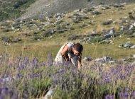 Mélilou, plantes en Baronnies provençales - Cueillette à la main (Copyright : Mélilou, plantes en Baronnies provençales)