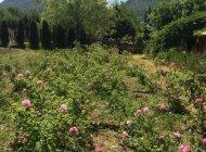 Mélilou, plantes en Baronnies provençales - Roses (Copyright : Mélilou, plantes en Baronnies provençales)