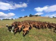 Les chèvres d'Arzeliers (Copyright : Gaec Les chèvres d'Arzeliers)