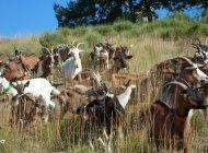 Ferme du coq à l'âne - Elevage caprin (Copyright : Ferme du coq à l'âne)