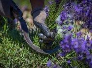 Lavanderaie des hautes Baronnies à Orpierre - Cueillette des bouquets de lavande à la main (Copyright : Patrick Domeyne)