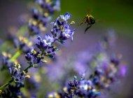 Lavanderaie des hautes Baronnies à Orpierre - Les abeilles butinent (Copyright : Patrick Domeyne)