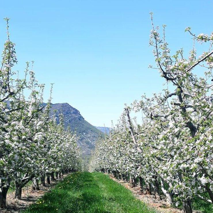 EARL Les Pommes de la Vallée du Buëch à Laragne - Verger (Copyright : EARL Les Pommes de la Vallée du Buëch)